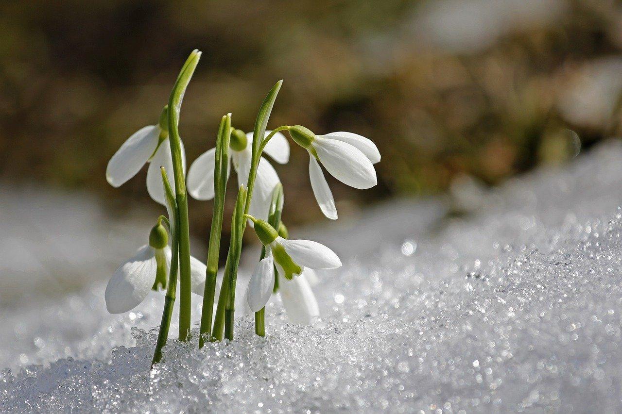 подснежник весной